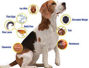 Different Dog Parasites On Dog Pictured