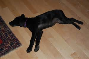 Stretched Out Dog Sleeping On Hard Floor Needs A Dog Luxury Bed