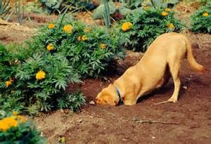 Dog Digging In Flower Garden
