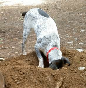 Dog Digging Behavior