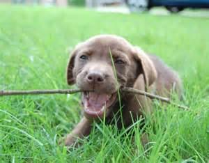 Labrador Puppy Teething