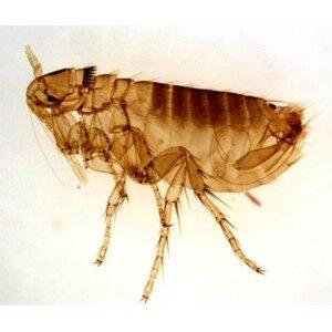 Flea - Adult Size